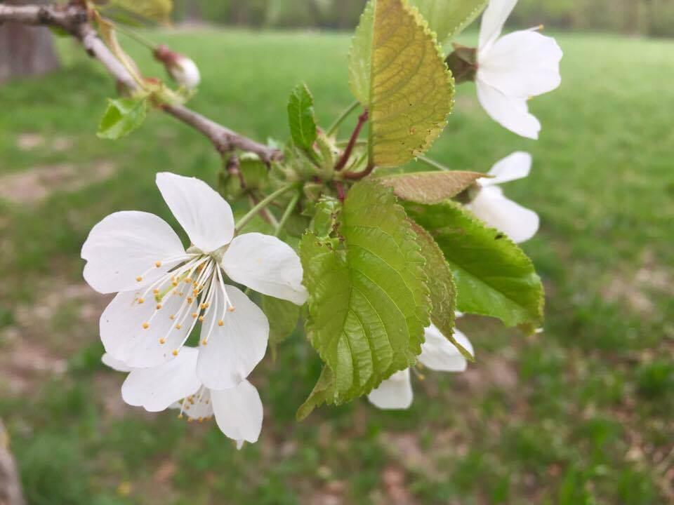 Apfelbaum Blume